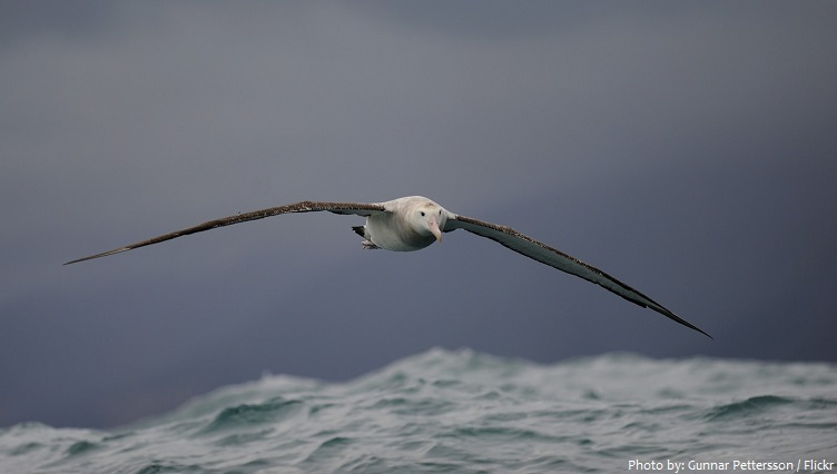 albatross flying