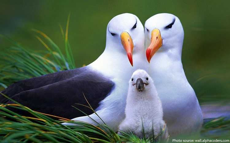 albatross pair and chick