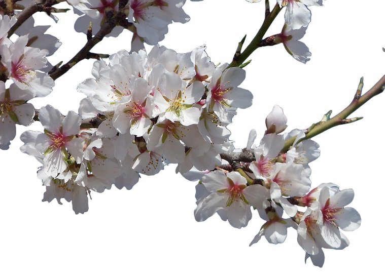 almond-flowers-2
