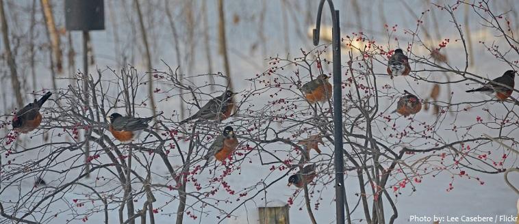 american robin flock