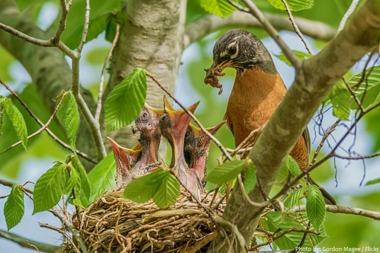 american robin nest chicks feeding