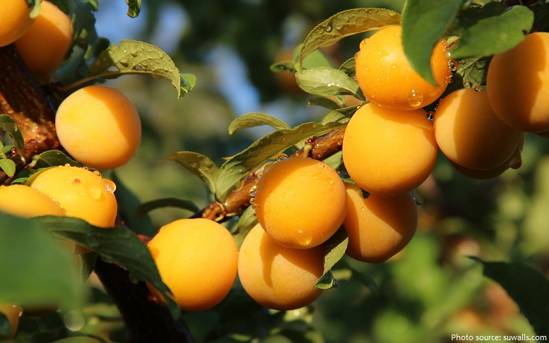 apricots in a tree
