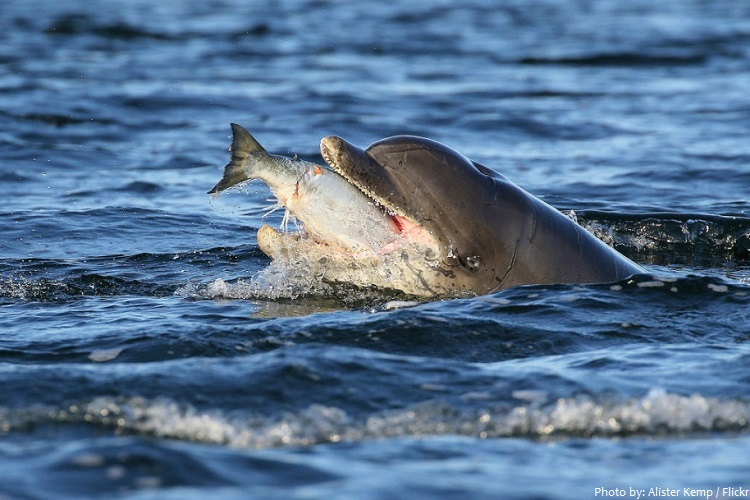 bottlenose dolphins eating fish
