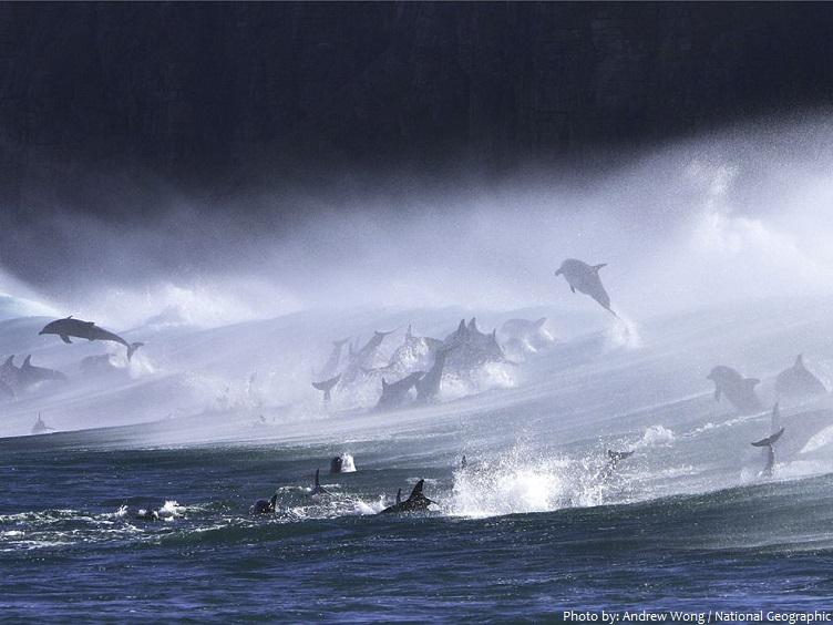 bottlenose dolphins pod