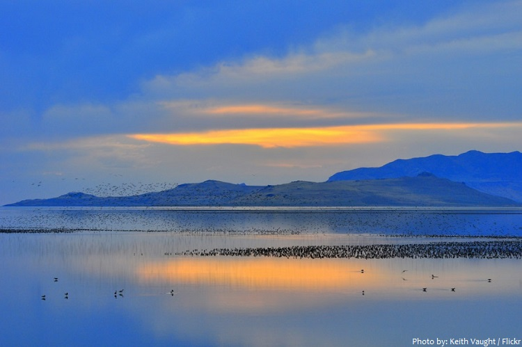 great salt lake birds