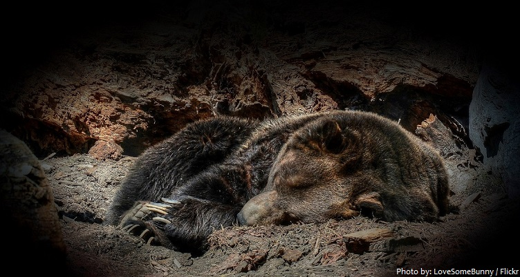 grizzly bear hibernate