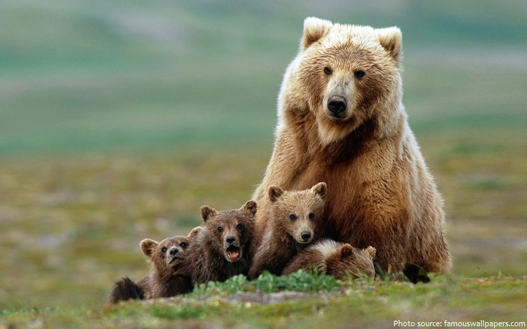 grizzly bear mother and cubs