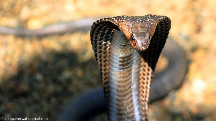 king-cobra-3