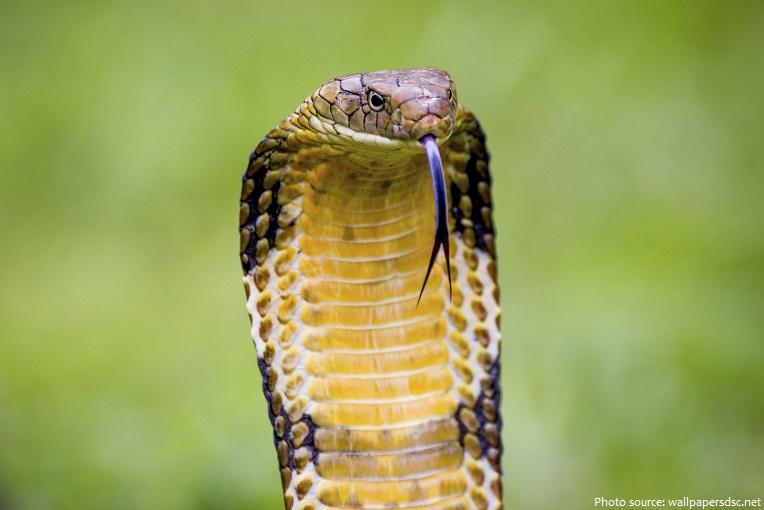 king-cobra-4
