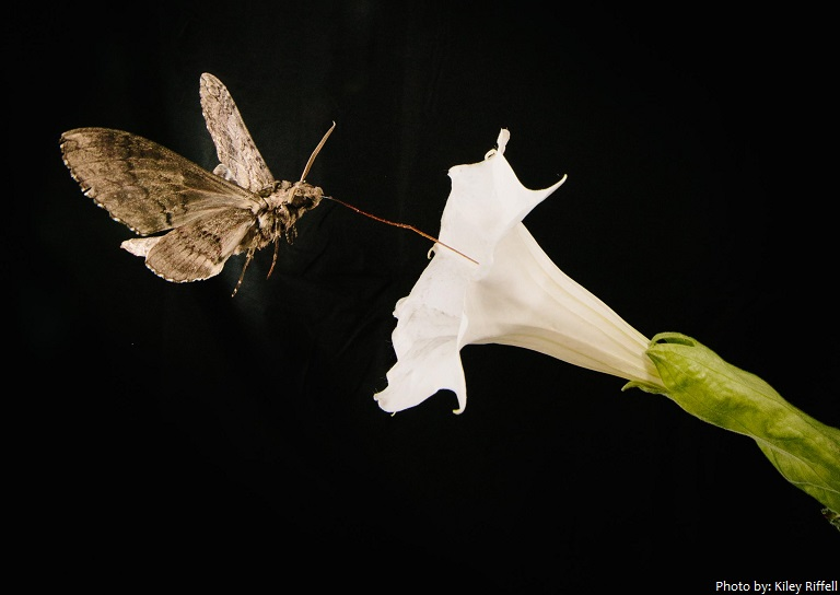 moth feeds from flower