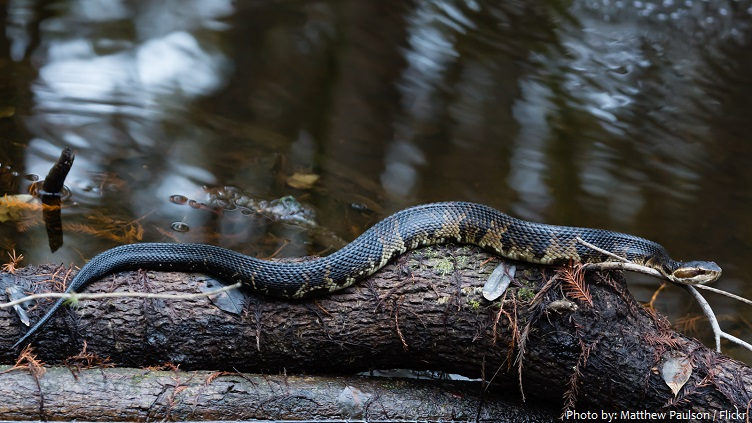 cottonmouth-snake-4