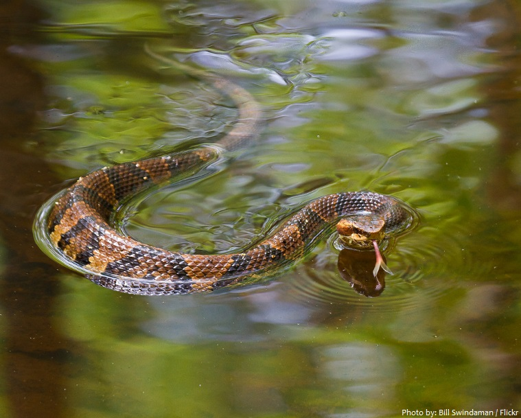 cottonmouth snake swimming