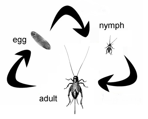 cricket life cycle