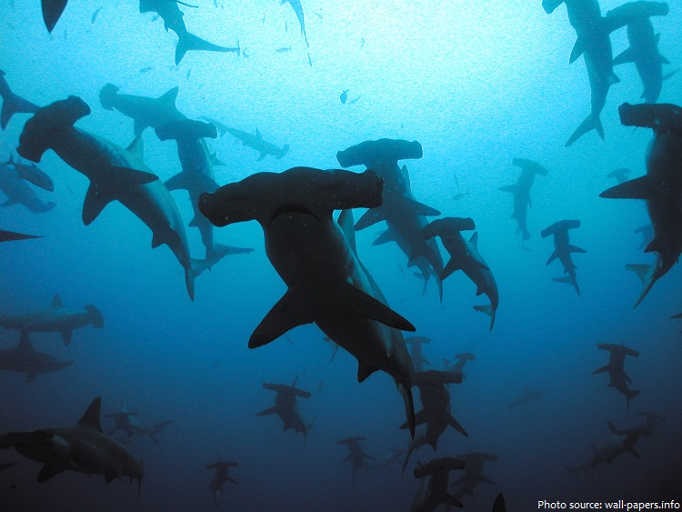 hammerhead-sharks-2