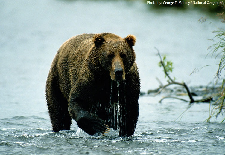 Interesting facts about Kodiak bears | Just Fun Facts - photo#36