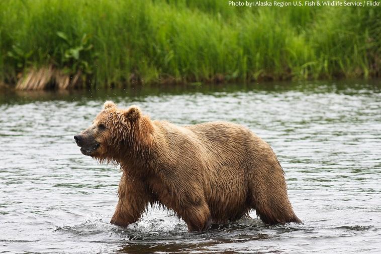 kodiak-bear-4