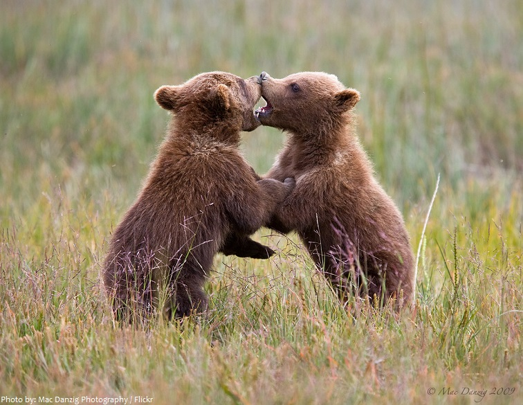 kodiak bear cubs