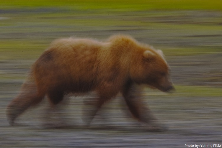 kodiak bear walking