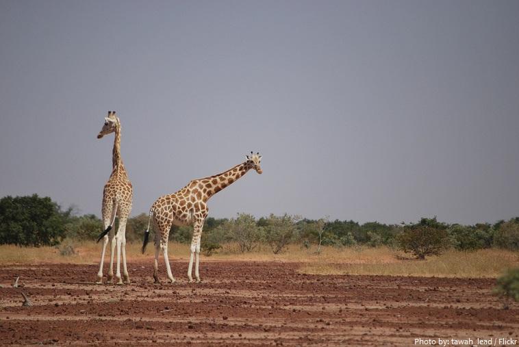 mali giraffe