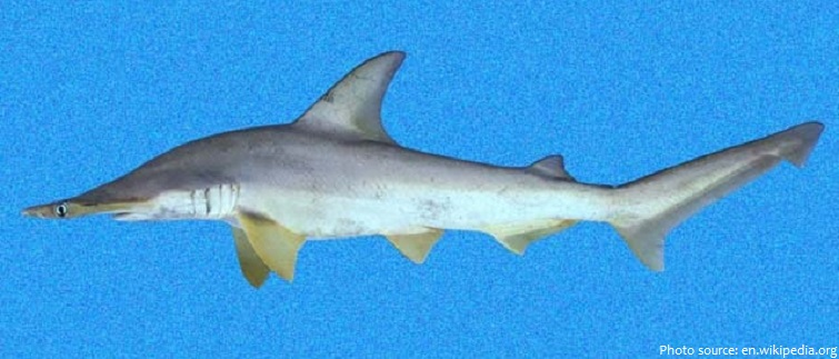 scalloped bonnethead