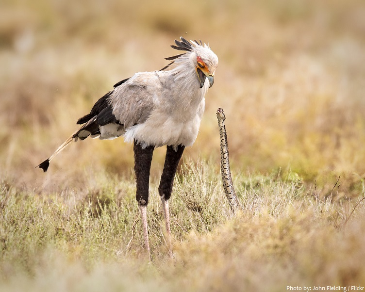 secretary bird and snake