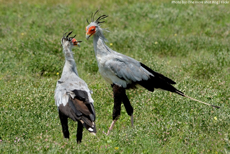 secretary bird pair
