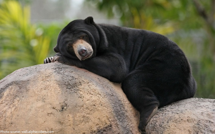 Interesting Facts About Sun Bears Just Fun Facts