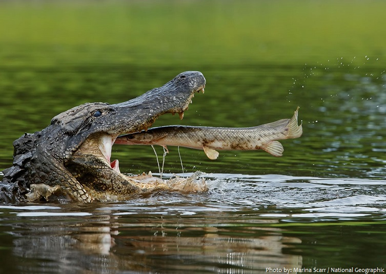 alligator eating
