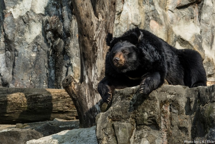 asiatic-black-bear-2