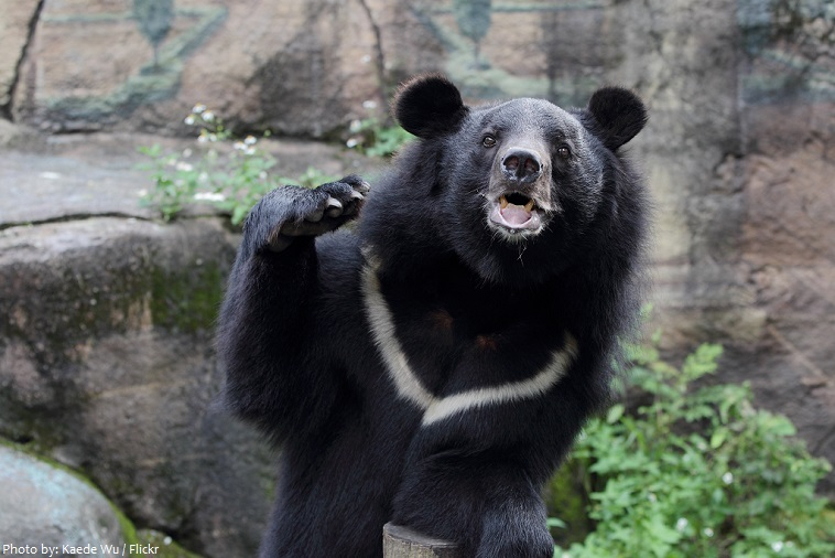 asiatic-black-bear-3