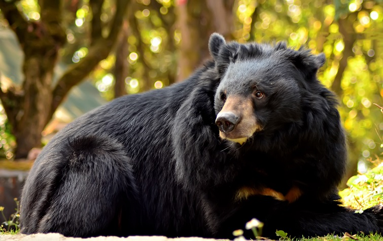 asiatic-black-bear-5