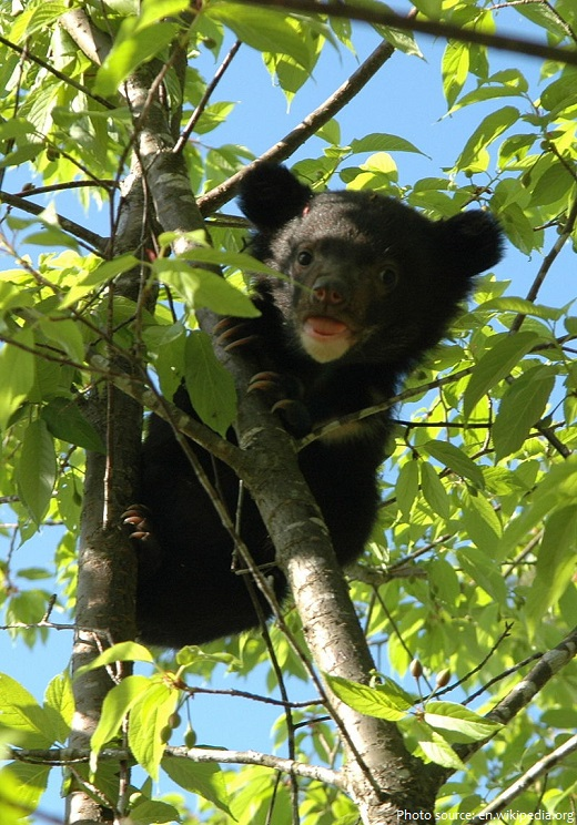asiatic black bear baby