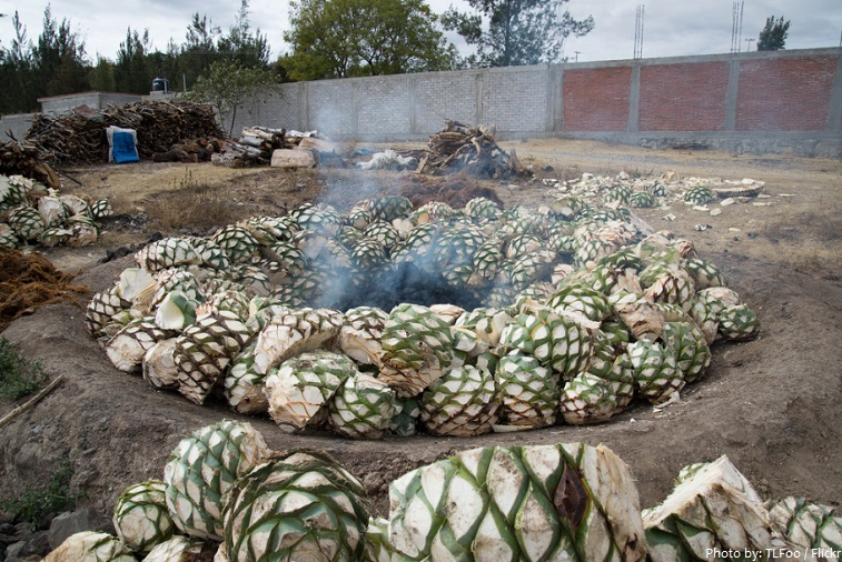 blue agave roasted