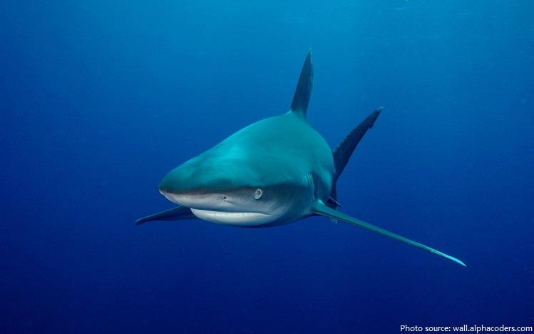 bull-shark-3
