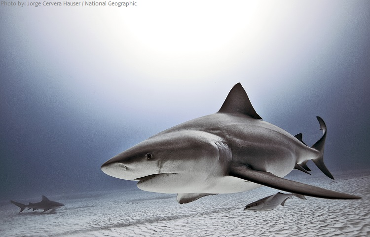 bull-shark-4