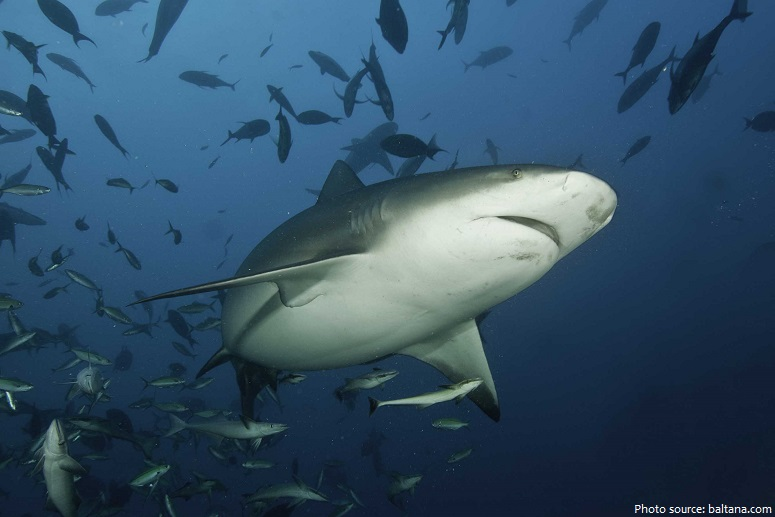 bull-shark-5