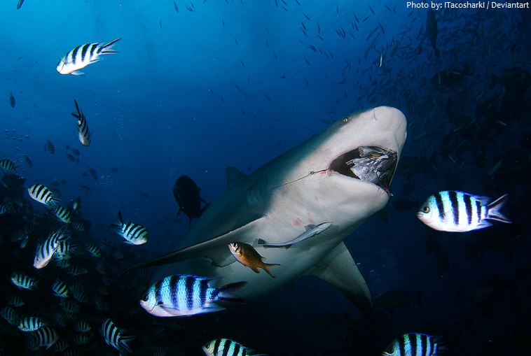 bull shark eating