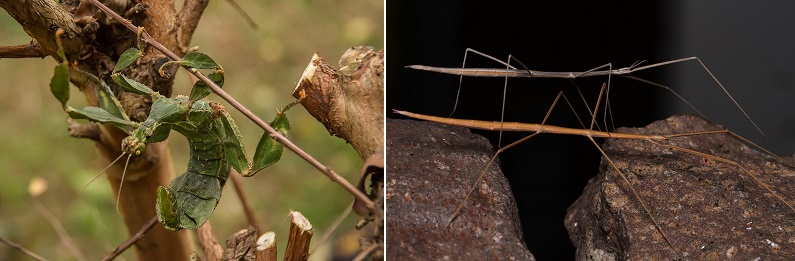 leaf insect vs stick insect