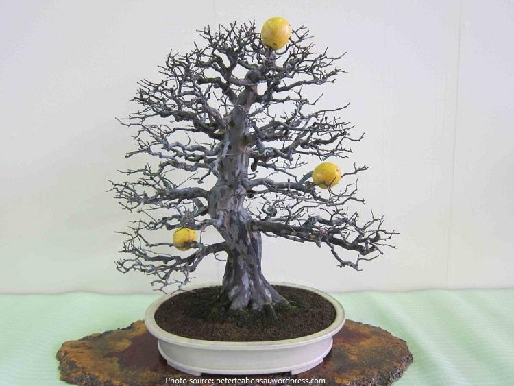 quince bonsai