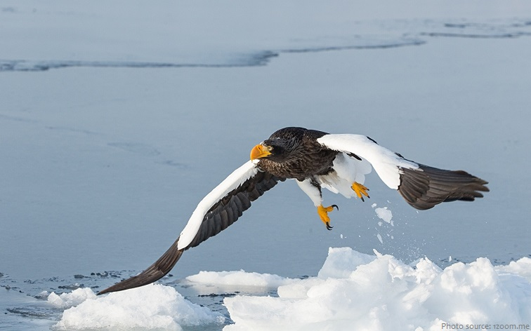steller's-sea-eagle-2