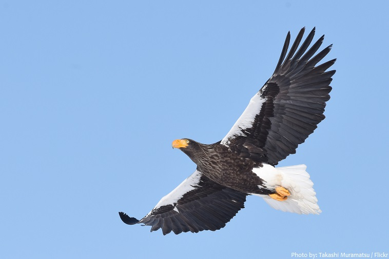 steller's sea eagle flying