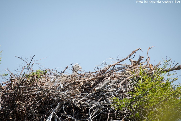 steller's sea eagle nest