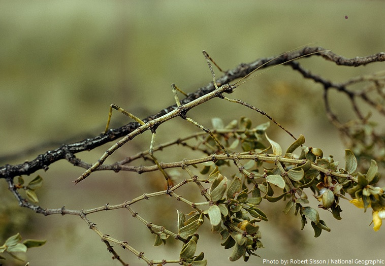stick-insect-2