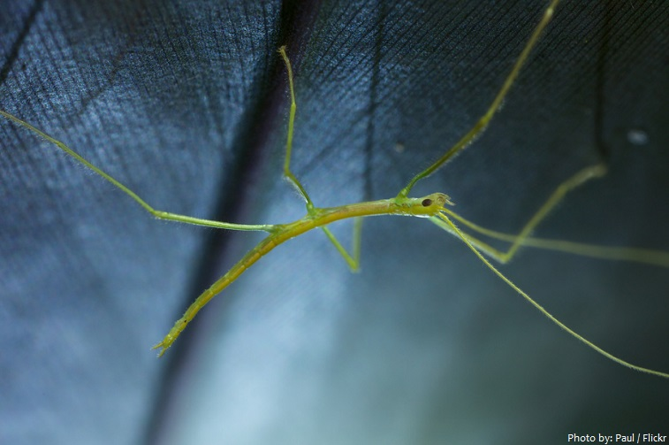 stick insect nymph