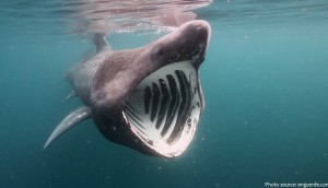 basking shark