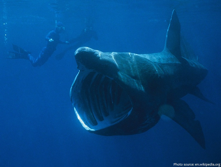 basking-shark-5