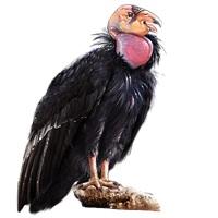 california-condor-4