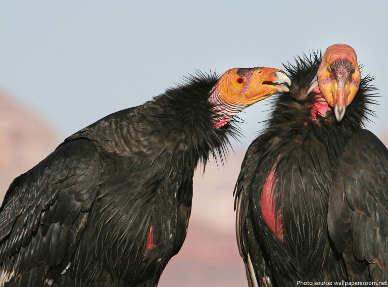 california condor flying pair