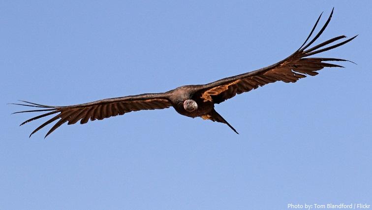 california condor flying
