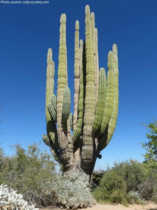 cardon the world largest cactus species